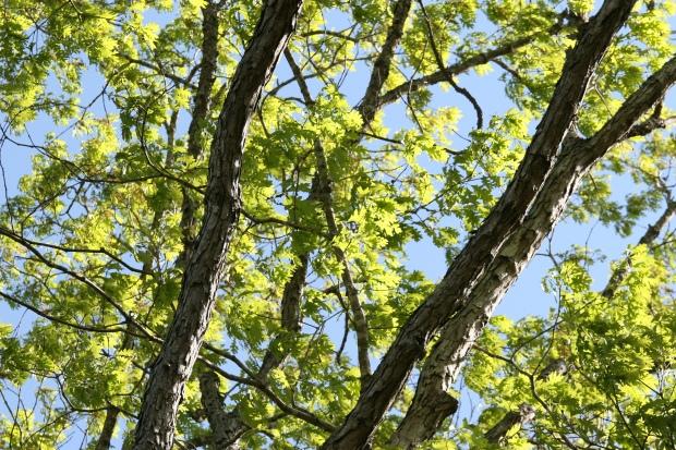 Duke_Forest_spring_Oak_high